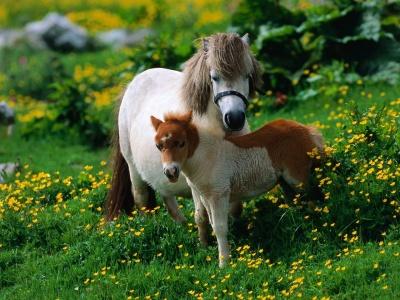 yegua400_1210481871_shetland-pony-with-foal