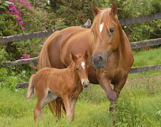 yeguacrias-de-caballos-familia