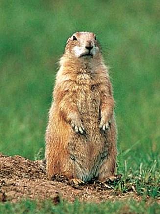 marmota (2)