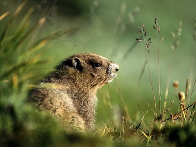 marmota (4)