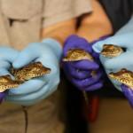 Nacen cocodrilos en peligro de extinción