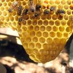 imágenes de abejas como insectos sociales