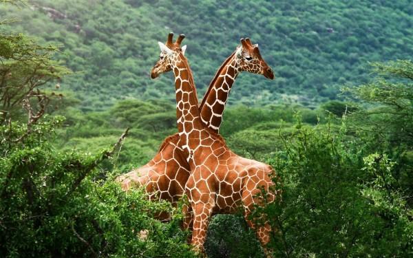 jirafas-en-la-sabana-en-su-habitat-natural-paisajes-de-africa-animales-enormes