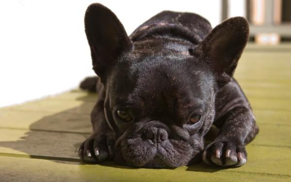bulllllllllreasons-to-buy-french-bulldog-6