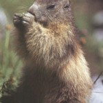 En que paises se celebra el Dia de la Marmota?