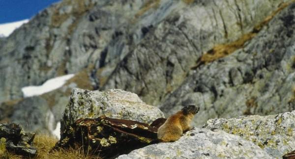 marmota (3)