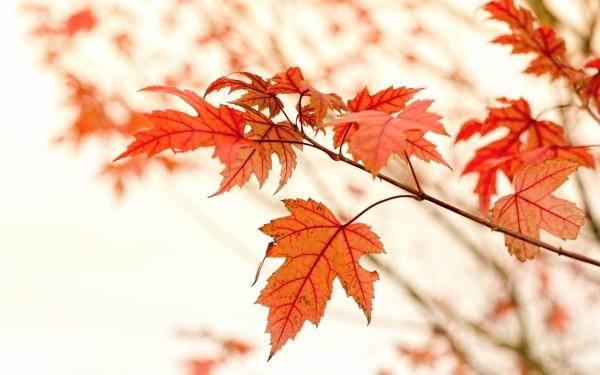 秋天的红叶高清壁纸