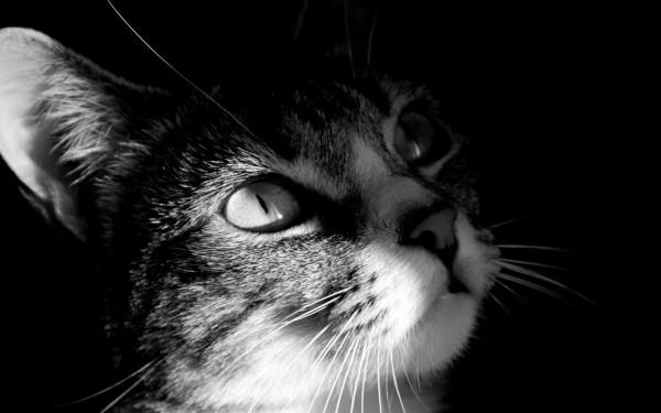 animalwallgato-en-blanco-y-negro