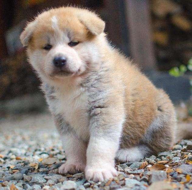 cachorros-de-akita-inu-en-bariloche_d763e893d_3