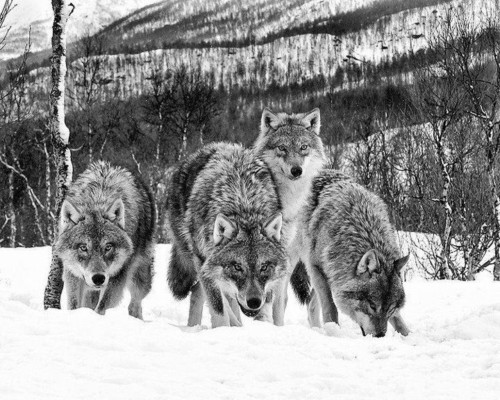 45 Mejores Imágenes De Lobos Aullando